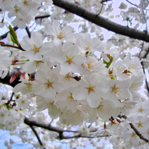 Yoshino Cherry